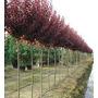 Prunus Pisardi 2-2,50 M+bolsa Tierra Jardin Ideal