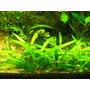 Sagitaria Subulata Plantas De Acuario-porcion 15 Plantas