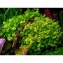Cardamine Lyrata X 10 Tallos-plantas Acuaticas