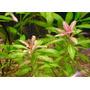 Hygrophila Polysperma Rosanervig Planta Acuario