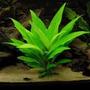 Planta De Acuario- Hygrophila Corymbosa
