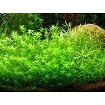 Hemianthus Micranthemoides - Planta De Acuario