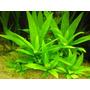 Hygrophila Corymbosa Planta Acuario