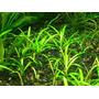 Sagittaria Subulata. Tapizante. Precio X 10 Plantas!!