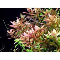 Rotala Rotundifolia - Plantas Acuáticas - Acuarios Plantados