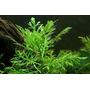 Hygrophila Difformis (planta Acuática) - Envíos