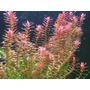 Planta Acuatica Rotala Rotundifolia