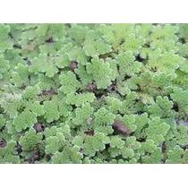 Pack De Plantas Flotantes -acuarios -estanques- 4 Especies