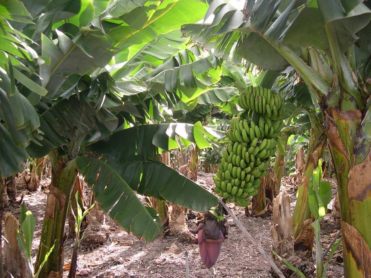 Arbol de bananas bananero banano arboles frutales for Banano de jardin