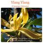 Las Boticarias Aceite Esencial Puro De Ylang Ylang Iii 15 M