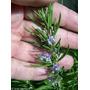 Aceite Esencial De Romero Puro Y Natural Ideal Aromaterapia