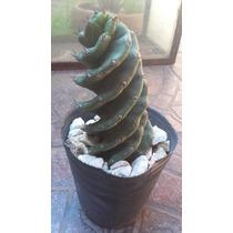 Cactus Espiralado Enraizado En Maceta En Zona Oeste!!
