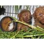 Cobayo,peruano Portadores Alpaca,