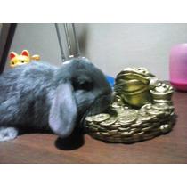 Oferta Conejos Holland Lop Orejas Caidas