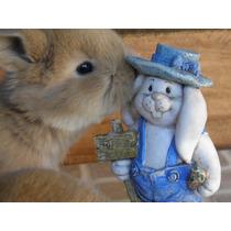 Conejos Enanos De Orejas Caidas Holland Lop.