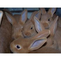 Conejos Leonado De Borgoña Bebes! *criadero Rabbit