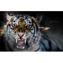 Lamina Felinos Tigre 90x60 Cm +100 Imagenes Consulte.