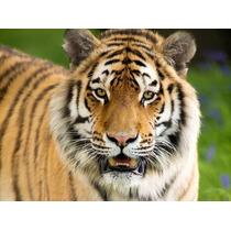 Lamina Felinos Tigre 4 - 80x60 Cm Mas Envio Gratis Caba !!
