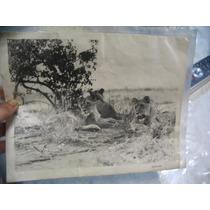 Lamina De Foto Blanco Y Negro Made In Usa De Leonas 26x21 Cm