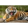 Lamina Tigre Animales 75x45 Cm Mas Envio Gratis Caba