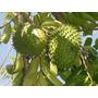 Graviola (guanabana), Extracto Super Concentrado
