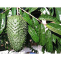 Graviola, Extracto Puro Potentisimo Amazonico 250 Cc