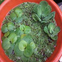 Plantas Acuaticas De Estanque Acordeones Lentejas Repollitos