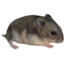 Tene Ya Tu Hamster Enano Ruso + Hamstera + Rueda + Tapa-reja
