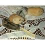 Hamster Ruso Por Mayor