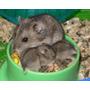 Hamsters Bebes Rusos!!!!!