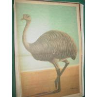Lamina Poster Revista Billiken Fauna Americana El Ñandu
