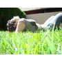 Raigras Anual - Cesped Ingles - Rye Grass - Ryegrass X 1kg