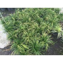 Plantas Pasto Ingles Jardines Borduras Vivero Mayorista