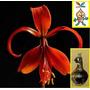 Bulbos De Sprekelia Formossisima - Flor De Lis Tamaño Grande
