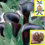 Bulbos De Flor Cala Negra, Tamaño Grande X 1 Super Bulbo