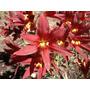 5 Bulbos De Azuenita Roja (rodophiala Bifida)
