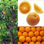 Árbol Naranjo De Ombligo Certificado