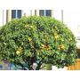 Limon+mandarina+naranja .vivero Sol