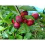 Guayaba Fresa O Arazá Rojo (frutal Nativo Tropical)