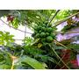 Hojas Y Plantines De Mamon Papaya