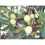 Árbol De Guayaba - Primera Calidad - Cañuelas