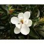 Magnolia Grandiflora De 1,50 M. Despacho Y Embalaje Gratis