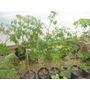 Moringa Oleifera.vivero La Casita