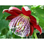 3 Plantines De Passiflora Alata - Envios A Todo El Pais