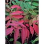 Arbol Plantin Rhus, Vivero Arbol Hermano. Jardin O Bonsai