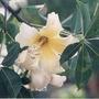 Arbol Plantin Palo Borracho Amarillo (chorisia Insignis)