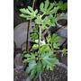 Arbol Planta Frutal Higo Higuera