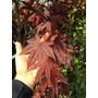 Acer Palmatum Atropurpureo Japonés El Más Rojo De Su Especie