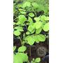 3 Plantines De Moringa Oleifera - Envios A Todo El Pais