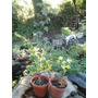 Plantin De Arbol Acer Trifido Xa Bonsai